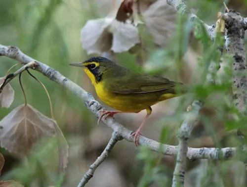 This Kentucky Warbler found at Brett Gray Ranch, Lincoln 9-13 Sep 2016, photographed here on 9 Sep 2016, represents just the fourth fall record for the state. Photo © by Glenn Walbek.