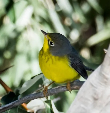 A rare fall migrant, this Canada Warbler photographed here at Willow Creek Park in Lamar, Prowers on 10 Sep 2016, was one of four reported this season. Photo © Jill White Smith.