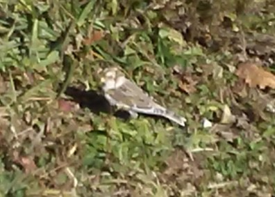 This Snow Bunting was a surprise discovery in a parking lot at the end of Viking Mountain Road near Greeneville in Greene Co, TN 6 Nov 2016. Photo © Joe Meyer.