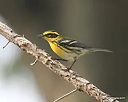 Townsend's Warbler barely enters the region's western limits. This individual was found significantly east of that, on 29 Aug 2016 in an Owasso yard in Rogers County; it is just one of a handful of records for the central and eastern portions of the region. Photograph by © Ken Williams.