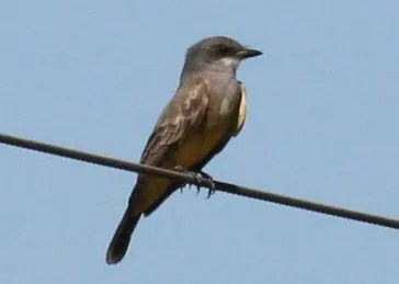 For a first Alabama record, a Cassin's Kingbird was seen by a lucky few near Magnolia Springs, Baldwin Co 25–27 Oct 2016 (here 25 Oct). Photo © Bill Summerour.