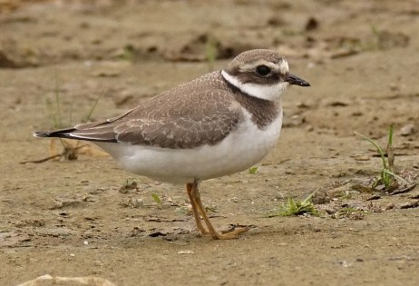 This juvenile Common Ringed Plover, one of two in the province this fall, was observed at Saint-Armand 10-14 Sep. 2016 (here 14 Aug.). Photo by © Réal Boulet