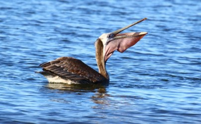 Brown Pelicans are sporadic vagrants in the region. This winter, 3 were noted until January in Oklahoma; this individual was at Lake Yahola, Tulsa County 10 Dec 2016—5 Jan 2017 (here 4 Jan). Photograph by © Terry Mitchell.