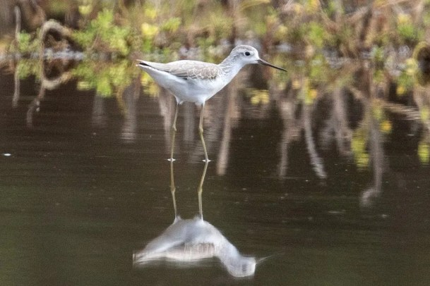 At Kahanui, Molokai Island, this Marsh Sandpiper was first seen in late December 2016 and was not found again. Assuming it was the same bird, it was found again more than 120 miles southwest of the original location on 1 January on the Kona coast. Many observers were able to see this bird. Photo © Eric VanderWerf.