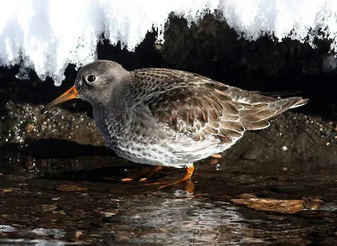 A first state record Purple Sandpiper was found at Dillon Res., Summit, photographed here on 19 Dec, it was present from 16–31 Dec. Photo © Bill Maynard.