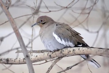 This White-winged Dove was a one-day wonder on 2 Dec 2016 at Fort McMurray in northeastern Alberta. It represented the third record for the province. Photo © Chris Godwin.