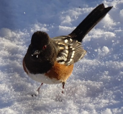This male Spotted Towhee spent the whole winter at a feeding station (here 4 Jan. 2017) at Saint-Mathieu-de-Rioux (Lower St. Lawrence). Photo by © L. Dionne