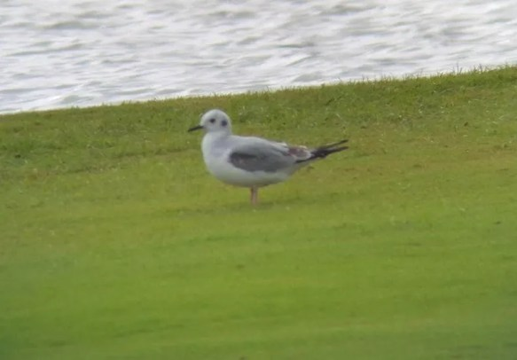 Bonaparte's Gull is a rare winter visitor in the Hawaiian Islands. This one was on a golf course at Līhu'e, Kaua'i Island 26 December 2016. Photo © Justin Hite.