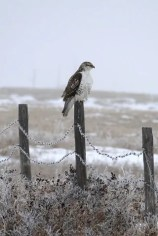 It was likely that this Ferruginous Hawk east of Calgary, Alberta on 22 Jan 2017 had wintered locally. Photo © Laurie Rutter.
