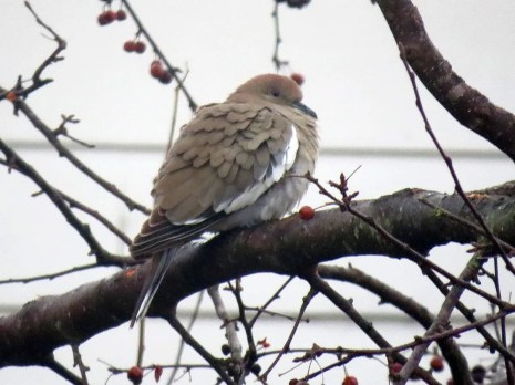 White-winged Doves have become increasingly regular in Tennessee over the past ten years. This one visited a feeder in Dyersburg, Dyer County, 16 Jan. Photo © Kathy Sellers.