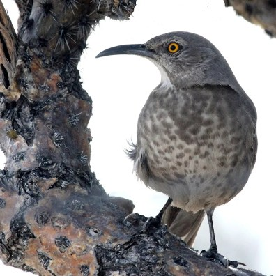 A small population of Curve-billed Thrashers has been breeding for years in northeast Weld County, far north from their typical breeding locations. This one was photographed here in cholla cactus 30 Jan. Photo © Dave Leatherman.