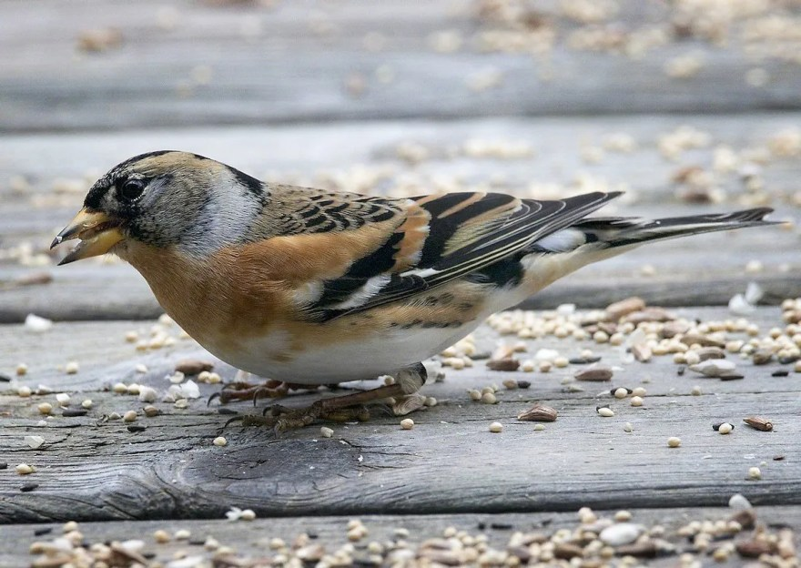 This Brambling—a male molting into alternate plumage—was at the Loren & Babs Padelford residence, Bellevue, Sarpy, NE 8—10 Jan 2017 (here 8 Jan), where many were fortunate to see it. Photograph by © Brian Peterson.