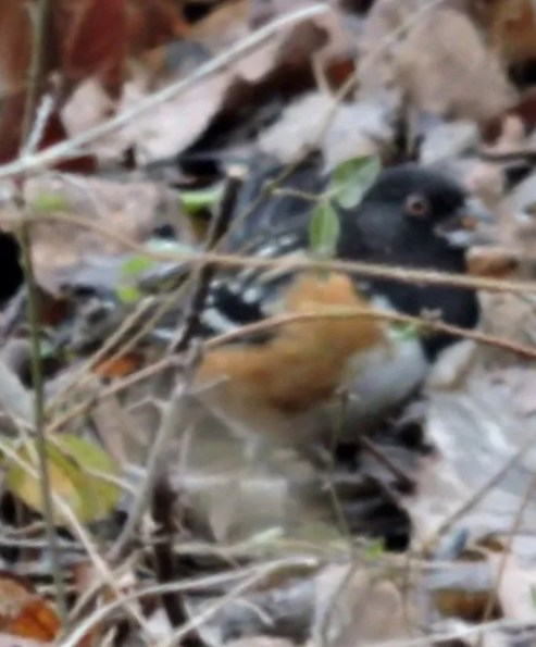 This Spotted Towhee at Gibson County Lake, Gibson County 27 Dec was approximately Tennessee's twentieth record. Photo © Mark Greene.