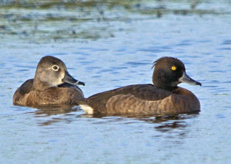A Tufted Duck was at Christchurch 4–22 Mar 2017, providing Barbados with its first record. Photographed here with a Ring-necked Duck on 18 Mar. Photo © John Webster.