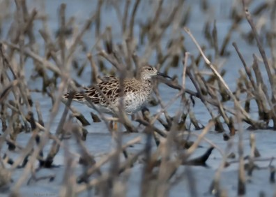 Ruff: One of three Ruffs documented in Indiana this spring, this female was the longest staying and remained at Goose Pond F.W.A. in Greene Co from 14–25 Apr 2017. Shown here 15 Apr. Photo © Michael Brown.