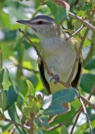 Some springs, Black-whiskered Vireos are detected in small numbers along the coastal migrant traps and other years they are completely absent. This spring was a banner season with as many as five birds detected, including this one at Sabine Woods, Jefferson Co, Texas. Present 4–5 May 2017, it was photographed on 4 May. Photo © Mark Scheuerman.