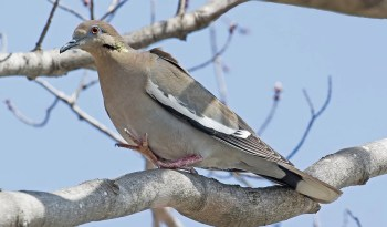 This male White-winged Dove returning 9 Apr 2017 to Rondeau PP, Chatham-Kent Co, ON for the third consecutive year and photographed here on that date, was admired by many to the end of the period. Photo © Garry T. Sadler.