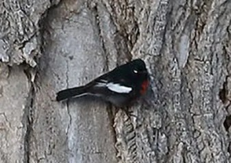 The region's only records of Painted Redstart have come from Kansas; this one, found 9 Apr 2017 in rural Hodgeman County, continued that trend. It is one of fewer than five regional records. Photo by © Graham Montgomery.