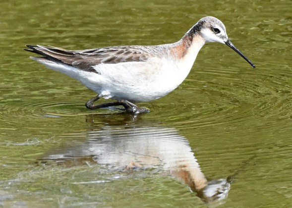 Always a good find in Bermuda, this Wilson's Phalarope was photographed at Spittal Pond on 28 May 2017. It stayed only four days 25–28 May. Photo © Andrew Dobson.