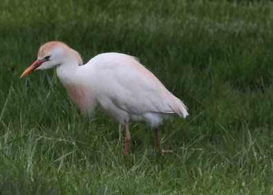 Cattle Egrets were in good numbers during May in southern Ontario, including this bright adult at Hillman Marsh, Essex Co 4 May 2017. Photo © Bruce Parker.