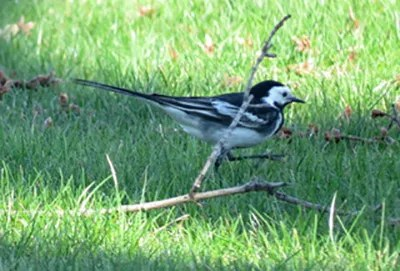 Undoubtedly the bird of the season was this White Wagtail of theyarelli subspecies (Pied Wagtail), serendipitously photographed by non-birders on a lawn in Port Colborne, Niagara Co during its 15 minute stay 16 Apr 2017 for Ontario's first provincial record. Photo © Barbara K. Ceply.