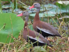 Black-bellied Whistling-Ducks were a regular sight this summer at Eufaula National Wildlife Refuge in Barbour Co, Alabama (here 21 Jun 2017). Initial sightings of birds in the area began in 2015 with only small numbers being reported. Photo © Jordan Broadhead.