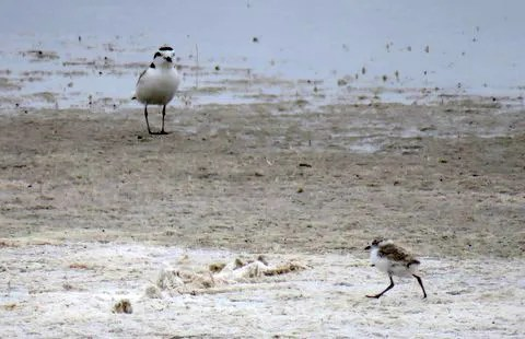 An adult Snowy Plover and two chicks were found at a playa in Morgan Co, Colorado, confirming a first county breeding record on 25 Jun 2017. Photo © David Dowell.