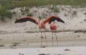 Alabama's first American Flamingo made a fleeting appearance across the state line from Florida during Tropical Storm Cindy's track across the Gulf of Mexico. The pair was observed for just a few hours on 22 Jun 2017 before returning across the state line to Florida. Photo © Janice Neitzel.