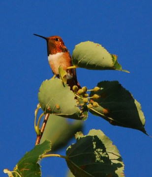 This adult male Rufous Hummingbird at a private residence in Hennepin Co., Minnesota was photographed 26 Jul 2017, the last date of its 3-day stay. Photo by © Liz Harper.