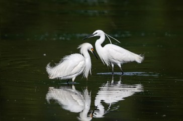 DE's fourth Little Egret, nicely compared to a Snowy Egret (left), will likely be followed by others, since this expanding Old World species now breeds in the Bahamas. Photographed on 8 June 2017 at Bombay Hook, Kent, where it spent most of the summer. Photo by © Jerry am Ende.