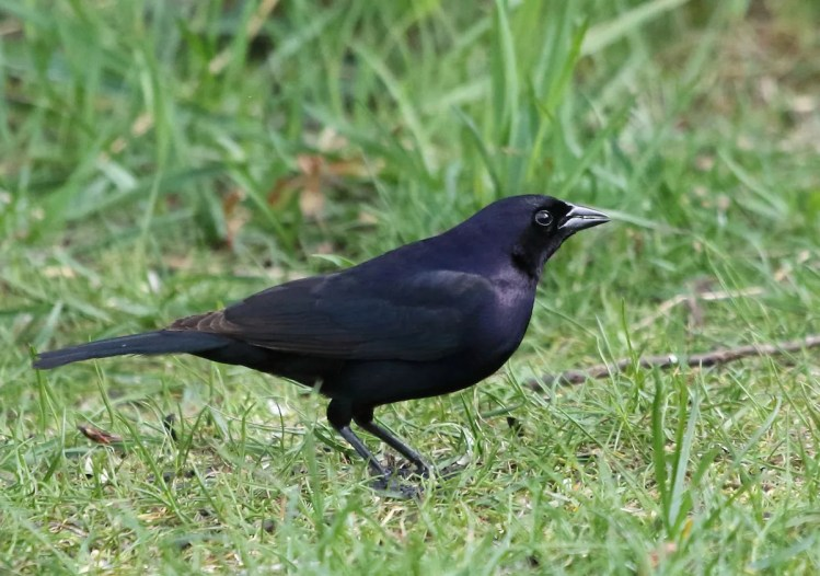 Michigan's first Shiny Cowbird was a surprise at Whitefish Point Bird Observatory, Chippewa Co., 3–4 June 2017. Photo by © Myles McNally.