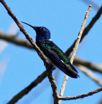 This photo of an adult male White-necked Jacobin near Cinquera on 25 Nov 2017 provides the first documented record of this species for El Salvador. A handful of previous observations were sight records. Photo © Ivania Sibrian.