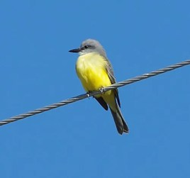 This Tropical Kingbird was observed 2–3 Oct 2017 at the Nucla Water Treatment Plant, Montrose, CO, photographed here on 3 Oct 2017. This provided the second state record, just one month after the first state record was documented further east in El Paso, CO. Photo © Brenda Wright.