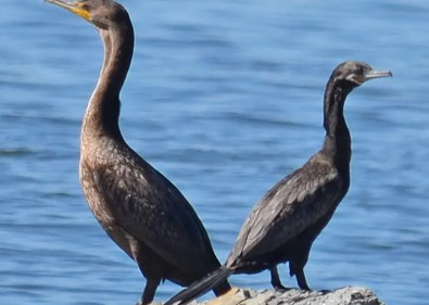 Though locally abundant now in west Mississippi, this Neotropic Cormorant 7 September at Wheeler Dam, Lauderdale County, was only the second for Alabama. Photo © Damien Simbeck.