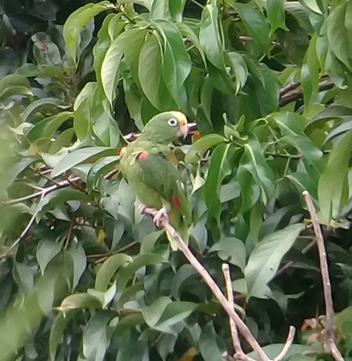 Regular in neighboring Panama, Yellow-crowned Parrot was new for Costa Rica when a group of seven was observed at Palma Quemada near the Panamanian border on 4 Sep 2017. Photo © Geinor Mena Murillo.