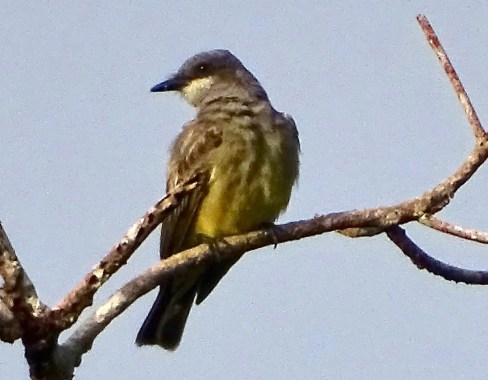 Cassin's Kingbird is a rather scarce winter visitor as far south as the highlands of northern Central America. This individual, however, boldly went where no Cassin's Kingbird had ever gone before. It ended up at the Sierra Llorona Panama Lodge in the coastal lowlands of central Panama. Photo ©Ken Rosenberg.