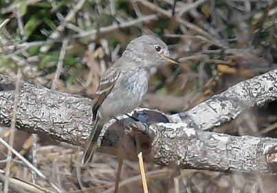 Another first for the region, a Gray Flycatcher was an out-of-the-park find 30 October in Jackson County, Mississippi. Photo © Yvette Stewart.