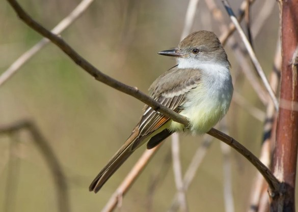Ash-throated Flycatcher is nearly regular on our coast in autumn; one was ready for a closeup 10 November south of Mobile. Photo © Howard E. Horne/Katie Barnes.