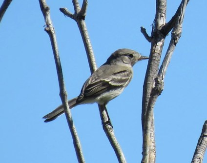 Gray Flycatchers are regional rarities, and the individuals found in the far western Oklahoma Panhandle added to the suite of westerly vagrants found there this season. This one was noted 6 Oct 2017 in Boise City, Cimarron, Oklahoma. Photo by © Erin Lehnert.