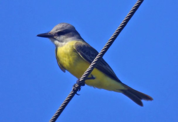 Though not yet specifically documented in Alabama, this obliging (and occasionally vocal) Tropical Kingbird 14–16 October (here 14 October) at Pascagoula was the third non-recurring individual identified to species in Mississippi. Photo © Bryan White.