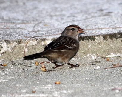 """This immature """"Gambel's"""" White-crowned Sparrow was photographed 30 km southeast of Belize City at the Turneffe Island Resort. It was only the third record for Belize. Photo ©Eddie Polanco."""