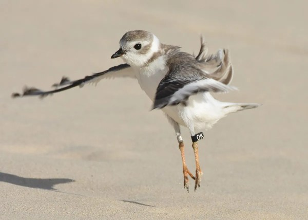 This Piping Plover 'OK' had been banded at Prince Edward Island, Canada in Jul 2017. It was on Cooper's Island, Bermuda 8–15 Sep 2017. Photographed here 10 Oct. Photo © Andrew Dobson.