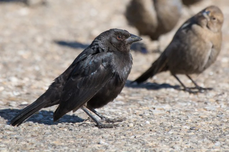 While a regular rarity now on the Alabama coast, as many as four Bronzed Cowbirds 30 October–30 November (here 30 October) in south Baldwin County gave a new state maximum. Photo © Collin Stempien.