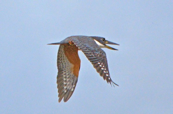 The first record of Ringed Kingfisher for Barbados was present at Woodbourne Shorebird Refuge 21 Sep–5 Oct 2017. Photographed here 30 Sep. Photo © John Webster.
