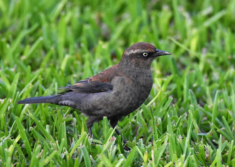 A Rusty Blackbird at Mid-Ocean Golf Club 14–20 Nov 2017 was only the second Bermuda record since 1975. Photographed here on 15 Nov. Photo © Andrew Dobson.