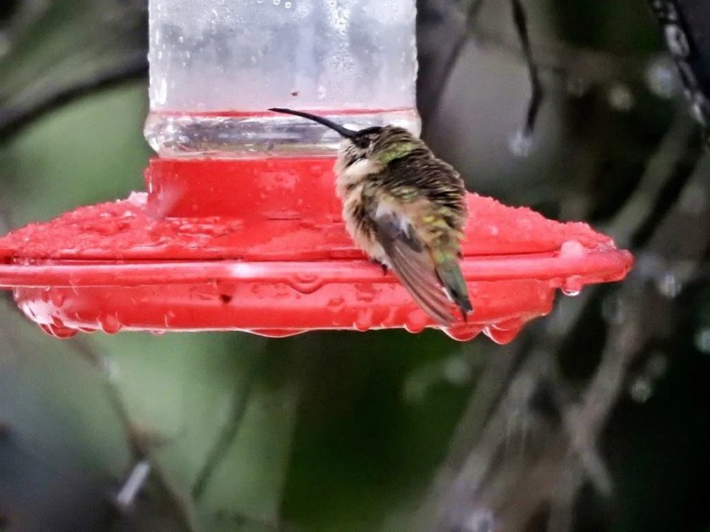 Louisiana's first Lucifer Hummingbird arrived at an icy feeder in New Iberia, Iberia Parish on 8 Dec 2017 and unfortunately was not seen subsequently. Luckily the homeowner is one of Louisiana's most active birders and quickly took photos. Photo © Michael J. Musumeche