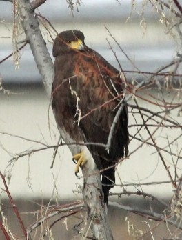 A long staying Harris's Hawk found at the Running Deer and Cottonwood Natural Area near Fort Collins, Larimer Co. 10 Dec–16 Feb, photographed here 23 Dec 2017, became the state's 6th record. Photo by © Dave Leatherman.
