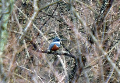 What a surprise to spot a Ringed Kingfisher on an ornithology class field trip run by Chris Butler! This bird was found behind the Oklahoma State University Forestry Research Station in McCurtain, Oklahoma 17 Feb 2018. Photo by © David Arbour.