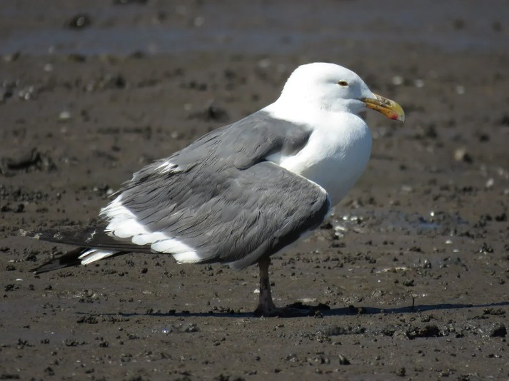 This adult Western Gull, seen here when it was first found on 4 Jan 2018, appeared injured and incapable of flight. It was seen again on 19 January, when it no longer dragged its right wing and was seen making short flights. This report from the mouth of the river Choluteca in southern Honduras represents a first for the country and a third for Central America. Photo ©John van Dort.