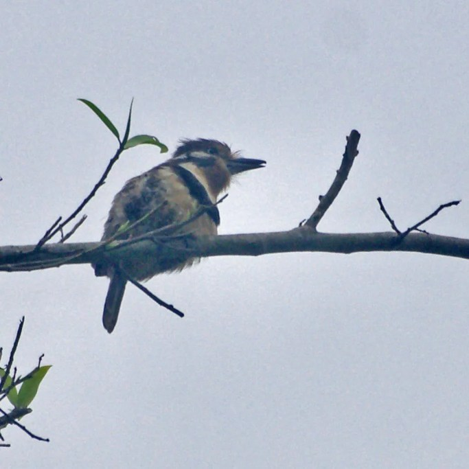 A first for Central America was this Russet-throated Puffbird, found (and shown here) on 30 Dec 2017. It was still present the following day near Tortí in the Panamanian Province of Panamá. Photo ©Jan Cubilla.